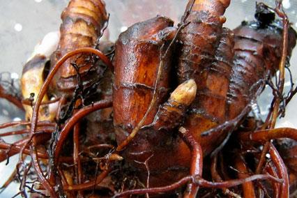 Экстракт корней цимифуги даурской