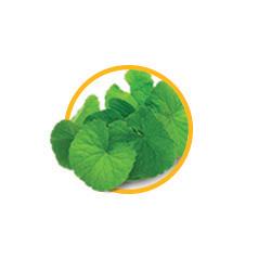 Экстракт травы готу кола (центелла азиатская)