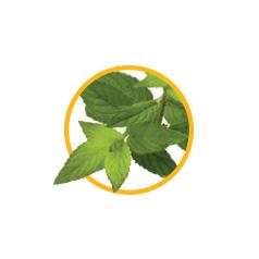 Листья мяты перечной