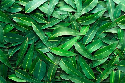 Экстракт листьев эвкалипта